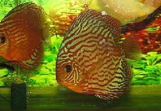 七彩神仙鱼有哪些种类?七彩神仙鱼的种类介绍