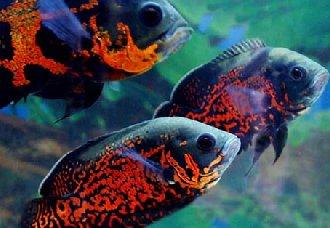 <b>地图鱼要怎么繁殖?地图鱼繁殖五要点</b>