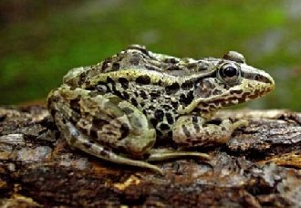 黑斑蛙要怎么养?黑斑蛙的养殖技术