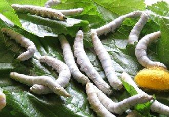 小蚕和大蚕要怎么饲养?小蚕和大蚕的饲养技术