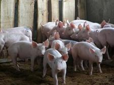 <b>猪霉菌毒素中毒怎么办?防治方法全在这里</b>