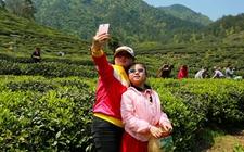 海垦茶叶集团:依托茶园发展休闲旅游,受到不少游客喜爱!
