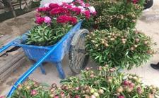 <b>甘肃临洮:花卉种植催生地方扶贫产业</b>