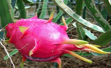 火龙果要在什么时候种最好?火龙果的种植时间和方法
