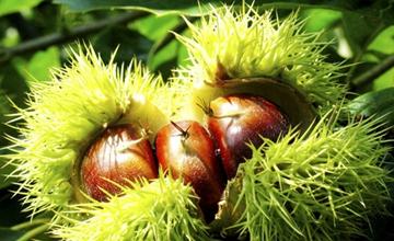 板栗树适合在什么环境中生长?板栗对种植环境的要求