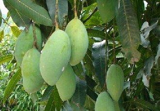 种植芒果需要有什么条件?芒果的种植技术