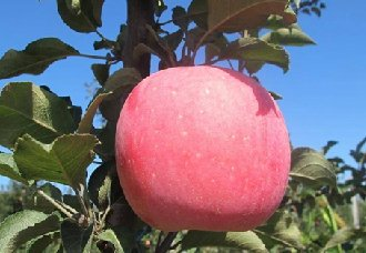 苹果水裂纹发生的主要原因是什么?苹果水裂纹的防治措施