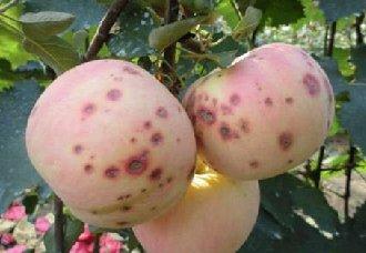 <b>苹果烂果病的发病时间是什么时候?苹果烂果病的防治方法</b>