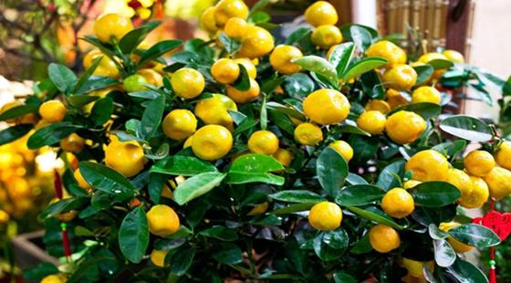 盆栽金桔要怎么种才能多结果?盆栽金桔的养护方法