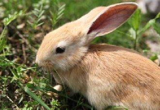 <b>兔子可以吃金银花吗?兔子可以吃哪些草药?</b>