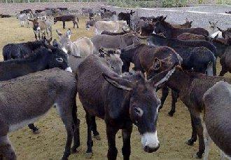 肉驴是怎么繁殖的?肉驴的繁殖技术