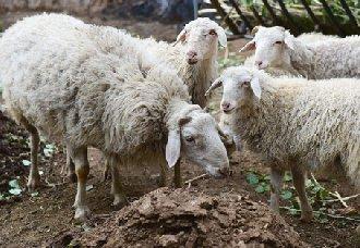 羊痘病有哪些发病症状?羊痘病的治疗方法