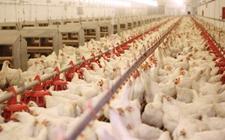 家禽业的转型升级,机会在哪里?
