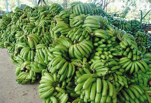 台湾香蕉滞销:价格跌至两毛一公斤 10公斤仅换一个茶叶蛋