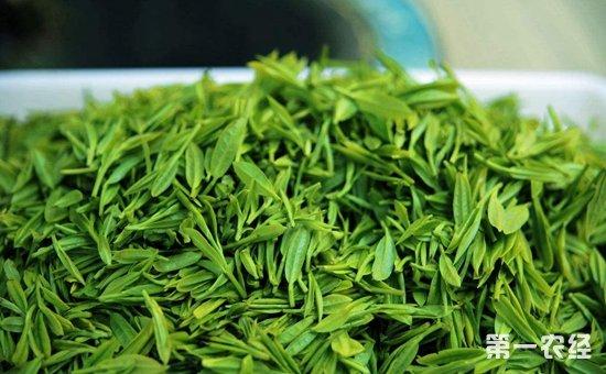 绿茶最早起源于巴地,主产省份分布在河南,贵州,江西,安徽,浙江,江苏图片