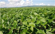 河南省将进行农业种植结构调整 引导农民增加大豆种植面积