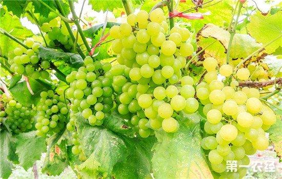 用白葡萄做的就是白葡萄酒?