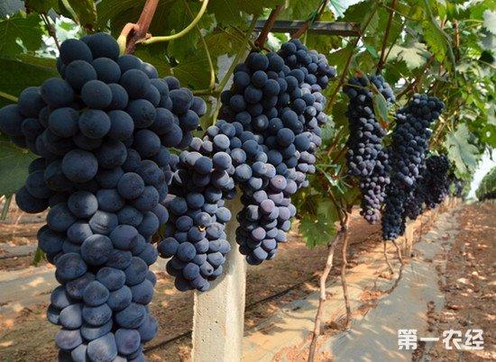 新旧世界葡萄酒是什么意思?