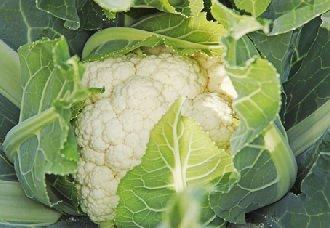 花椰菜黑斑病有哪些症状?花椰菜药黑斑病药剂防治法