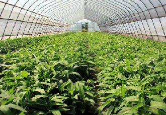 大棚空心菜要怎么种?大棚空心菜的种植方法