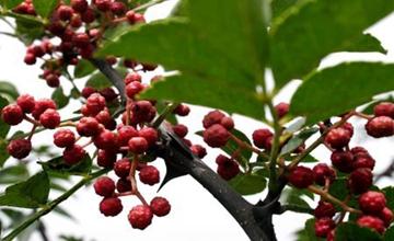 花椒树要怎么嫁接?花椒树的嫁接技术