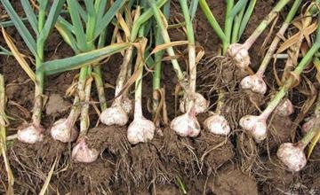 大蒜怎么施肥才能高产?大蒜施肥方法