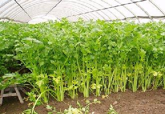 <b>芹菜要怎么栽培?芹菜栽培技术</b>