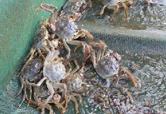 <b>大闸蟹常见的疾病有哪些?大闸蟹常见疾病治疗方法</b>