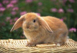 垂耳兔有哪些生活习性?垂耳兔的生活习性和养殖要点