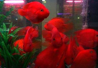 财神鱼要怎么养?财神鱼可以和什么鱼类混养?