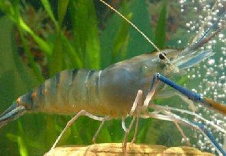 淡水虾有哪些品种?淡水虾的养殖方法