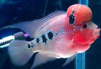罗汉鱼得了肠炎有哪些症状?罗汉鱼肠炎的治疗方法