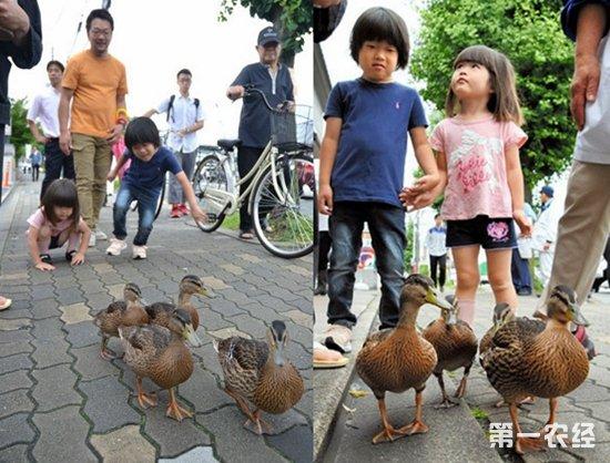日本4只小野鸭迁居竟然惊动15名警官