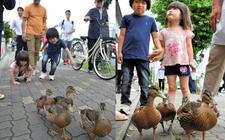日本4只小野鸭迁居 热心市民和警察贴身护送