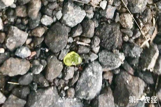 基拉瓦火山持续喷发后 夏威夷居民纷纷开始寻宝