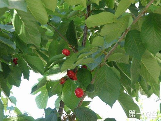 土耳其樱桃价格低迷 因采收成本高种植商弃收