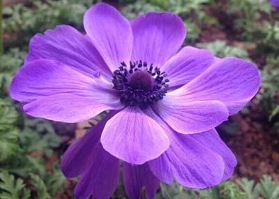 块茎银莲花