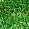 细叶结缕草