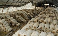 <b>新疆玛纳斯县:小小食用菌,带领农民走上致富路</b>