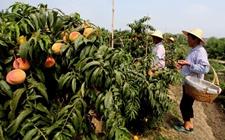 <b>湖南炎陵县:贫困村开展黄桃种植,最终收获致富果实!</b>