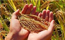 警惕粮食产量负担论 粮食安全不能放松