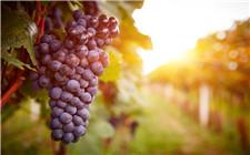 <b>葡萄酒中的单宁是什么?为什么不将其除掉?</b>