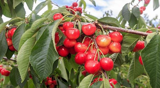 樱桃得了褐腐病有哪些危害?樱桃褐腐病的防治方法
