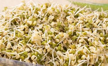 绿豆芽要怎么栽培?绿豆芽的药用价值和营养价值