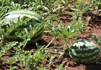 西瓜在育苗的时候要怎么施肥?西瓜育苗施肥三原则