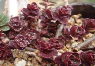 小球玫瑰有哪些特性?小球玫瑰的养植方法