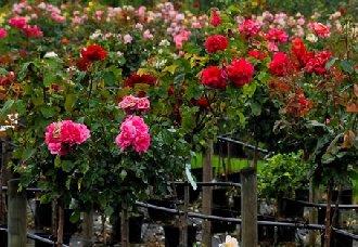 玫瑰花要怎么栽培?玫瑰花的栽培管理