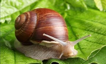 在田里怎么养殖白玉蜗牛?白玉蜗牛大田养殖技术