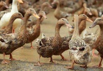 三穗鸭要怎么养?三穗鸭育雏期的养殖技术介绍