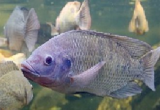 罗非鱼真的很脏吗?罗非鱼的特点